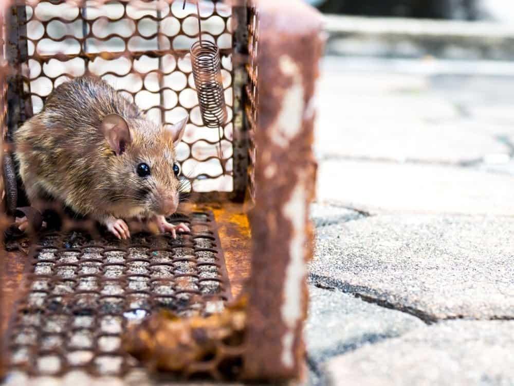 Un ratón atrapado en una jaula
