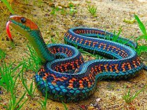 Serpiente de la liga roja de California