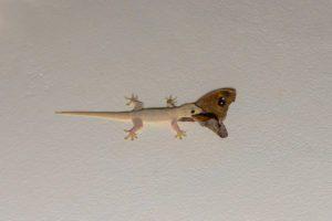 Gecko común de la casa que come la mariposa común del anillo cinco en el techo en la noche.