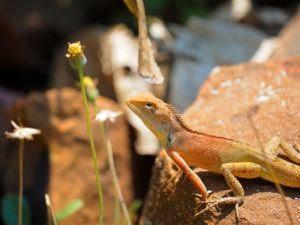 Cerca de lagarto de jardín oriental