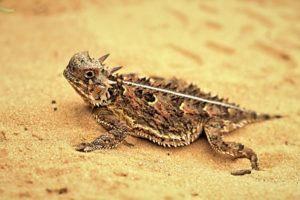 lagarto con cuernos en arena dorada.