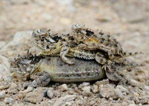 Familia de lagarto cornudo amontonada.