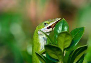 Lagarto verde Anole comiendo un insecto en el jardín