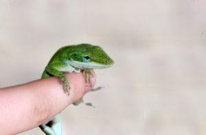 Lagarto verde anole colgando en el dedo