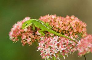 lagarto anole verde descansando sobre flor