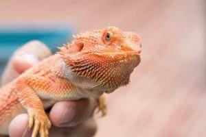 Dragón barbudo en mano humana.