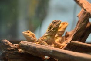 Grupo de lagarto de dragón barbudo en naturaleza.