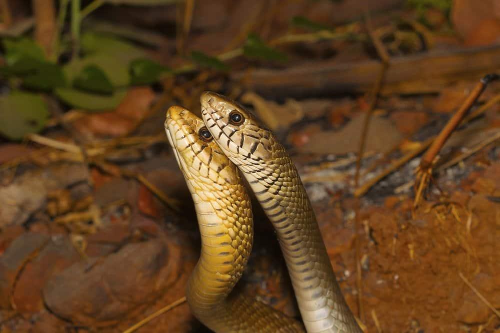 Primer plano de la cabeza de dos serpientes