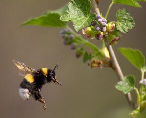 Una abeja volando para florecer.