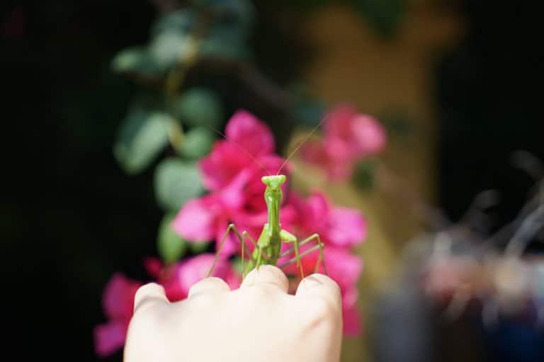 mantener la mantis como mascota