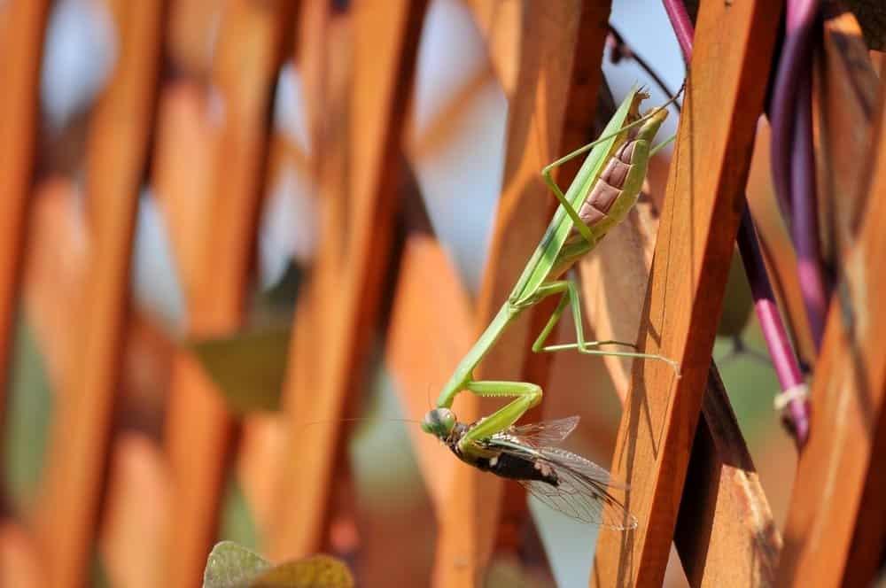 una mantis está comiendo cigarra