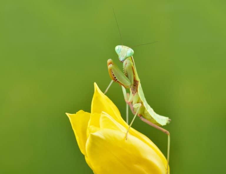 Mantis de oración en la naturaleza