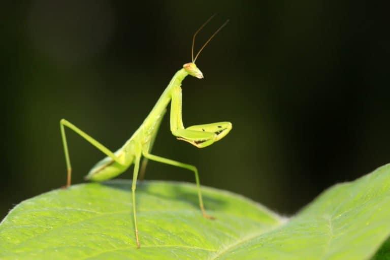 mantis de oración única en la naturaleza