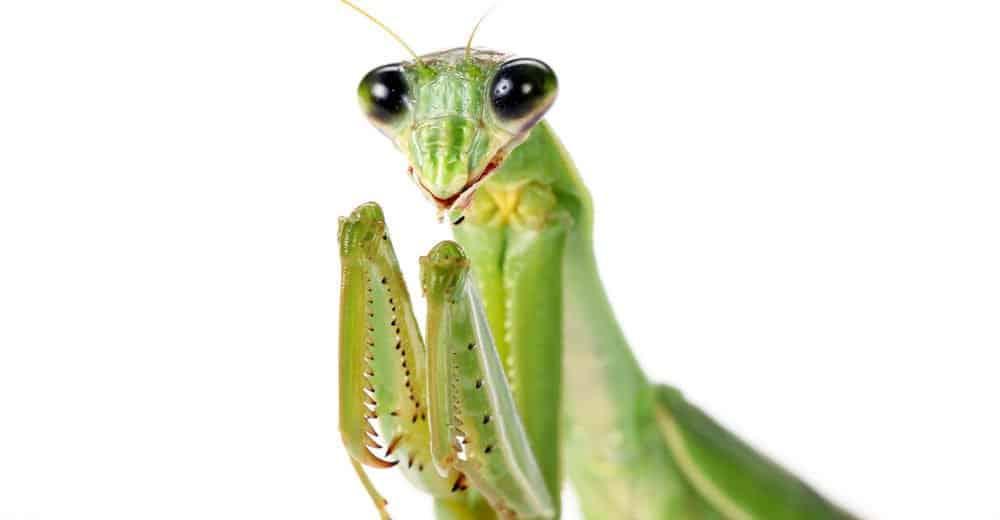 Oración Mantis Mordedura: Mordeduras en Humanos y Perros y los Mantis de Oración Masculinos