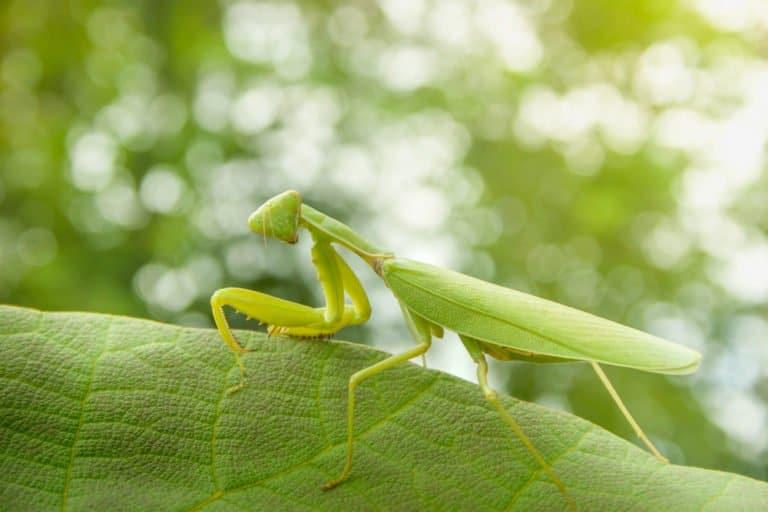 mantis de oración