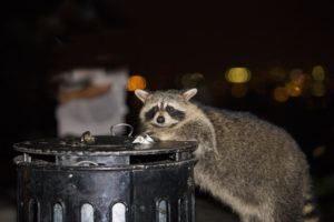 Mapache está buscando comida en la basura por la noche.