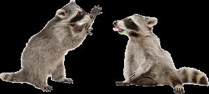 Dos mapaches están jugando en el fondo blanco.