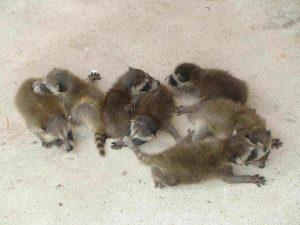 Varios mapaches bebé en el suelo.