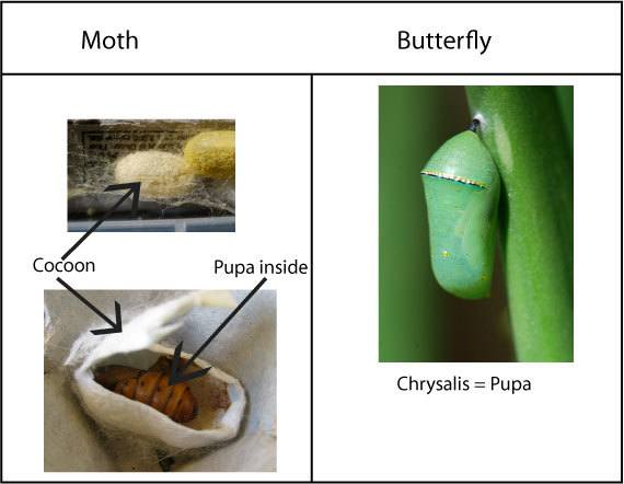 mariposa y polilla-2