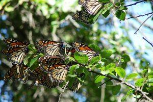 Datos y Diferencias Interesantes Entre Mariposas y Polillas