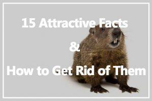 Marmota: 15 Datos Atractivos y Cómo Deshacerse de Ellos