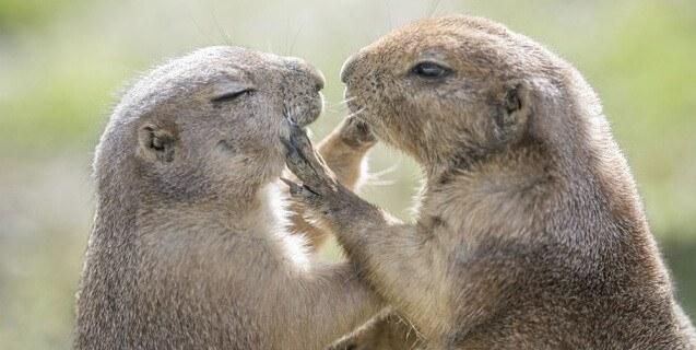 Datos Sobre la Marmota