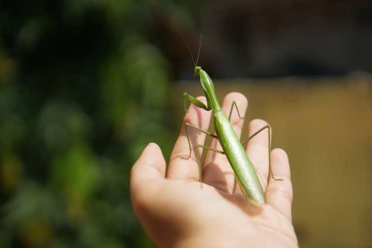 mascota rezar mantis