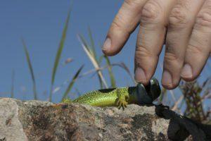 Una lagartija verde está mordiendo el dedo humano.