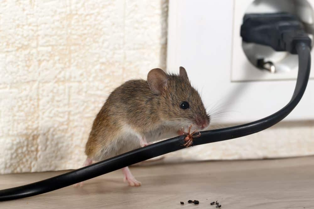 Un ratón de la casa está mordiendo el cable