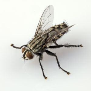 mosca de carne en tierra blanca