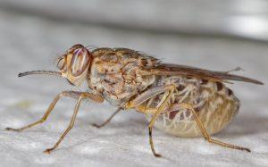 Fotografía de mosca tsetsé