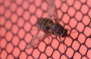 Tsetse mosca en la red de hierro