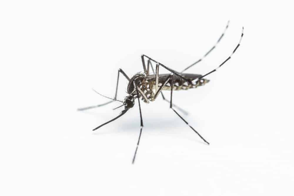 19 Datos Sobre Mosquitos Que te Volarán la Mente