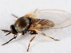 mosquito de búfalo sobre fondo blanco