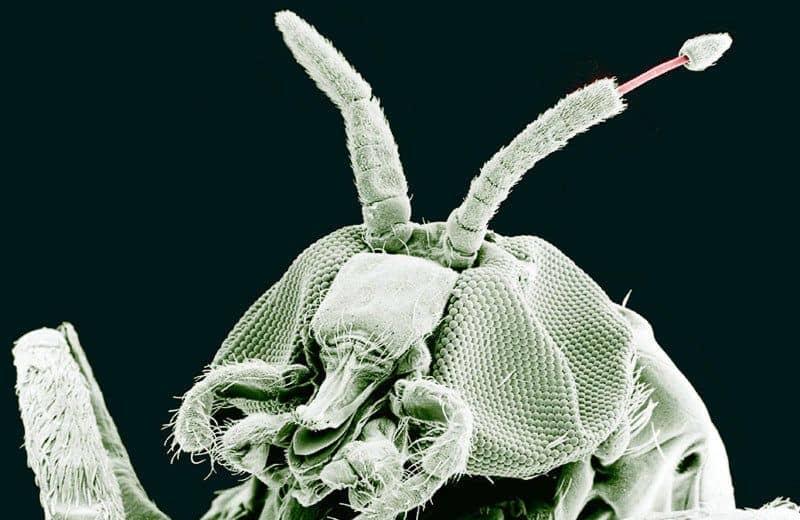 Mosquitos de Búfalo: Información General, Mordeduras de Humanos y Animales y Cómo Controlar