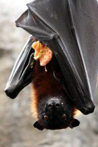 El murciélago frugívoro también conocido como zorro volador está comiendo.