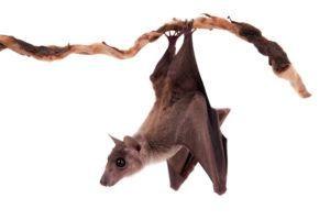 Murciélago de fruta colgando boca abajo en la rama.