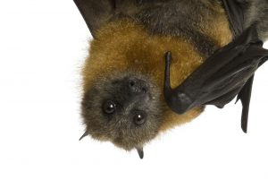 Murciélago de Frutas: Hechos y Cómo Deshacerse de Ellos