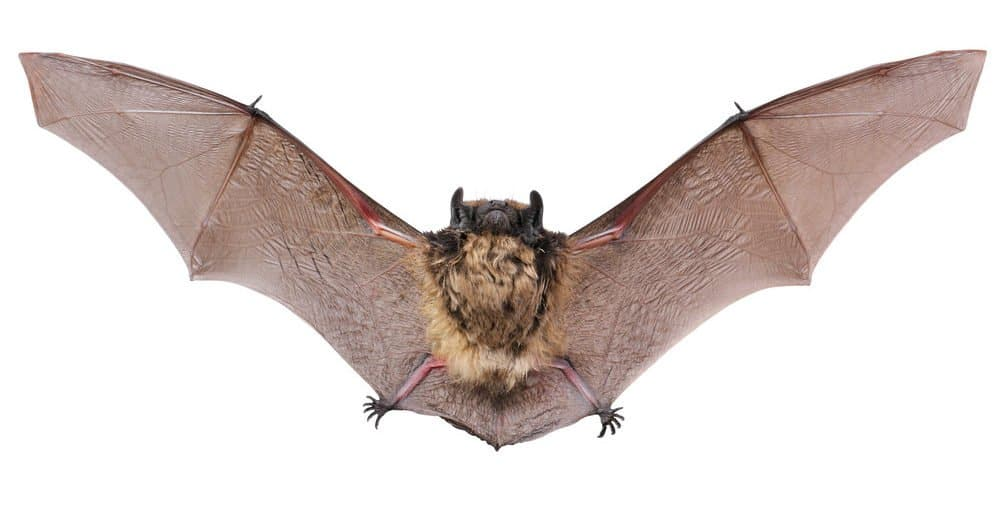 Murciélago Marrón: 7 Consejos de Identificación y 6 Mejores Métodos le Ayudan a Deshacerse de Ellos