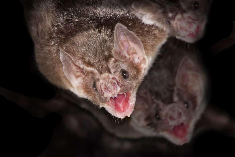 Murciélagos Vampiros (¡Sí, Es Real!) : 6 Datos Espeluznantes