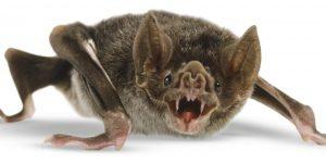 murciélago vampiro aislado en el blanco.