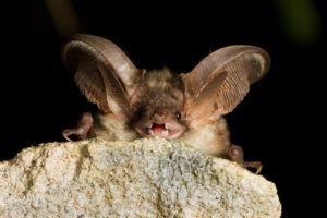 Un murciélago gris descansa sobre la piedra, mostrando sus dientes.