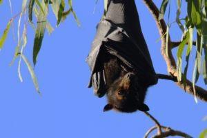 Murciélago colgando boca abajo sobre la rama.