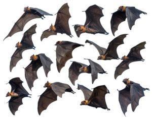 Murciélagos voladores aislados sobre fondo blanco