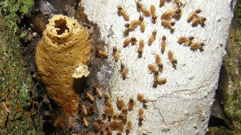 Nido de termitas en el árbol