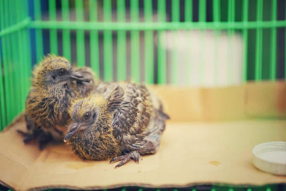Dos palomas de bebé en la jaula