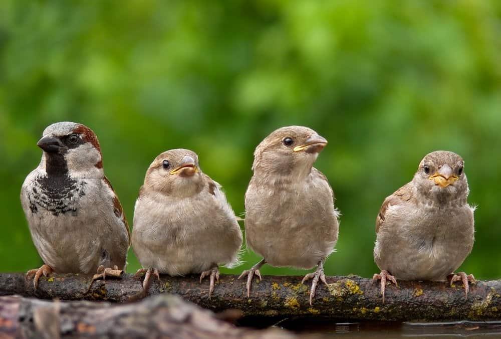 Un grupo de palomas bebé