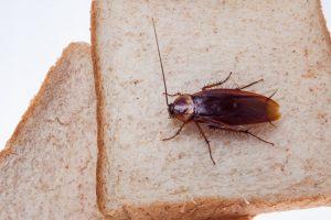 Una cucaracha está comiendo tostadas