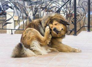 Pulgas de perro en el cuerpo del perro