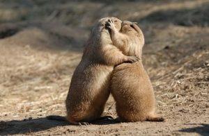 Dos perros de las praderas besándose
